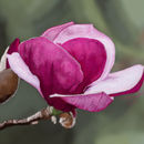 pink-cup-flower