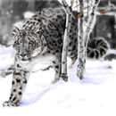 snow-leopard